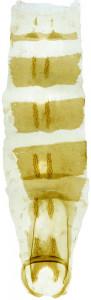 2 - 2829 Coleophora ancistron abd.