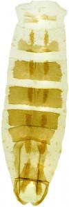 20 - 2823 Coleophora intermixta abd.