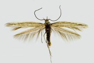 Russia, Altai rep., Kosh Adag, Kurai env., 1550 m, 9. - 10. 7. 2014, leg. & coll. Šumpich, det. Tabell, wingspan 11 mm