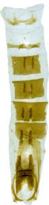 29 - 2832 Coleophora daringae abd.