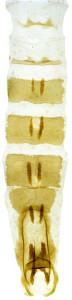 3 - 2830 Coleophora mediodens abd. – kópia