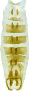 30 - 2813 Coleophora aequidensa abd.