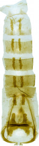 32 - 2826 Coleophora delgerella abd.