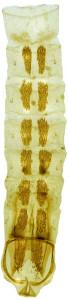 35 - 759 Coleophora hamata abd.