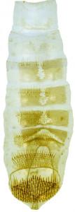 37 - 2758 Coleophora carchara abd.