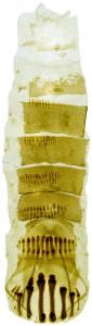 9 -3860 Coleophora sequens abd.