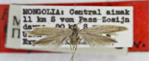 HOLOTYPUS, coll. TTMB, wingspan 16 mm