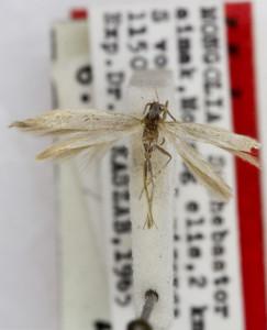 HOLOTYPUS, coll. TTMB, wingspan 10 mm