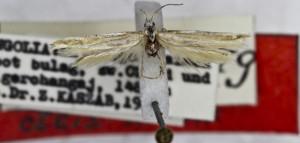HOLOTYPUS, coll. TTMB, wingspan 15 mm