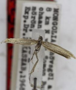 HOLOTYPUS, coll TTMB, wingspan 13 mm