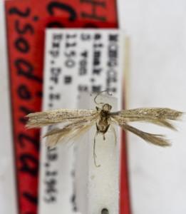HOLOTYPUS, coll. TTMB, wingspan 11 mm