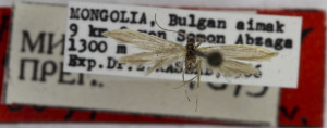HOLOTYPUS, coll. TTMB, wingspan 12 mm