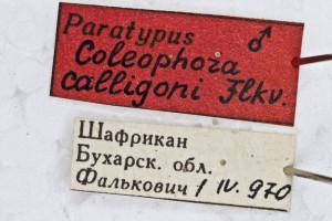 Coleophora calligoni (1)