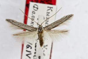 PARATYPUS, coll. TTMB, wingspan 16 mm