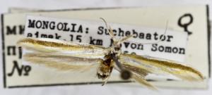 coll. TTMB, leg. Kaszab, wingspan 17 mm