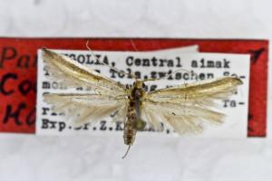 PARATYPUS, coll. TTMB, wingspan 17 mm