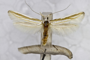 coll. TTMB, wingspan 18 mm