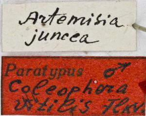 Coleophora vitilis (3)