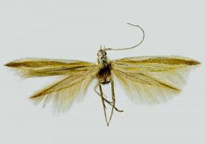 Corsica, Parapriano, 16. 6. 1993, leg. & coll. Skyva, det. Richter Ig., wingspan 16 mm