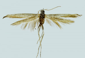 Greece, Eleftheupoli, Hrisokastro, 800 m, 12. 7. 2005, leg. & coll. Skyva, det. Richter Ig., wingspan 14 mm