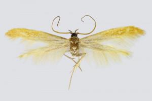 Macedonia, Pepelište near Negotino, Serta, 26.-27. 6. 2017, leg. & coll. Richter Ig., det. Baldizzone, wingspan    mm