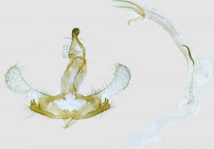 Russia, Altai rep., Kosch Adag distr., Tashanta env., 10 km SW, Ulandryk vall., 2200 m, leg. & coll. Šumpich, det. Richter Ig., GP 25489 IgR