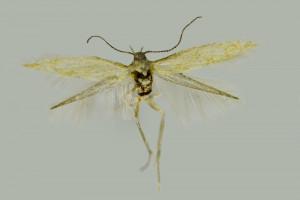 Macedonia,  Pepelište near Negotino, Serta, 18. 8. 2017, leg. & coll. Richter Ig., det. Baldizzone, wingspan 8 mm