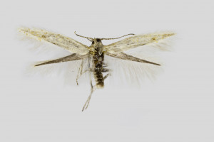 Macedonia, Krivolak  near Negotino, 25.-26. 8. 2017, leg. & coll. Richter Ig., det. Baldizzone, wingspan 7 mm