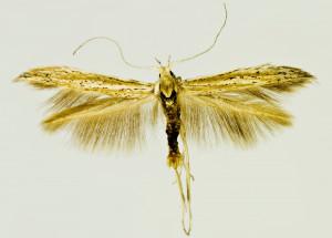 Spain, Palomera, Villaalba, Baja, 1100 m, 7. 9. 2002, leg. & coll. Šumpich, det. Richter Ig., wingspan 18 mm