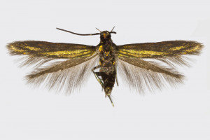 Spain, Huesca, Saravillo, 17. 6. 2017, leg. & coll. Laštuvka A., det. Richter Ig., wingspan 10 mm
