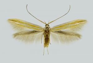 Greece, Imathia, Klidi, 24. 6. 1997, leg. Laštuvka A., coll. MZMB, wingspan 15 mm HOLOTYPUS