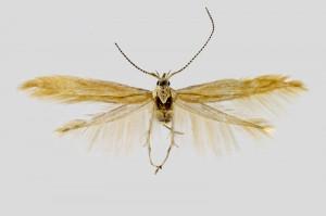 Spain, Huesca, Chia, 20. 6. 2018, leg & coll. A. Laštuvka, det. Richter Ig., wingspan 15 mm