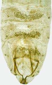 Coleophora gossypinae, 27380 abd.
